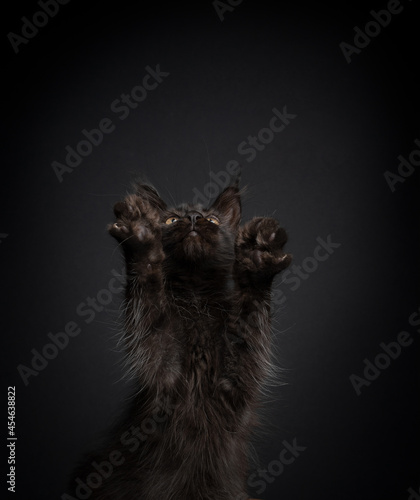 Fotografia, Obraz cute black maine coon kitten playing rearing up standing on hind legs looking up