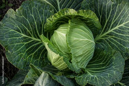 Photo cabbage, vegetarian food, vegetables, food, agriculture, leaf, garden, plant, or