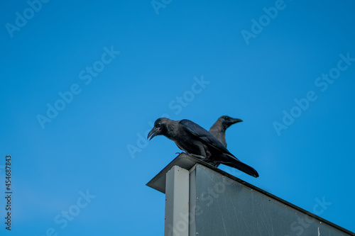 Fototapeta premium Crows perching on the billboard top against a blue sky