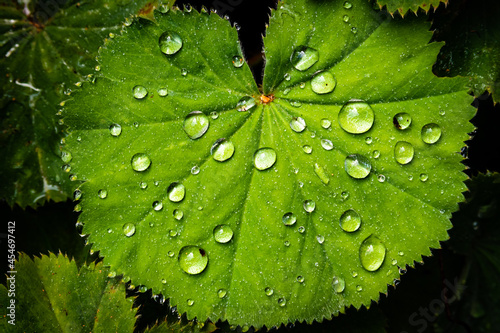 Fotografia Makro grünes Blatt mit Regentropfen Samt-Frauenmantel alchemilla mollis
