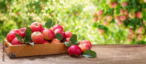 Canvastavla wooden box of fresh apples in a garden