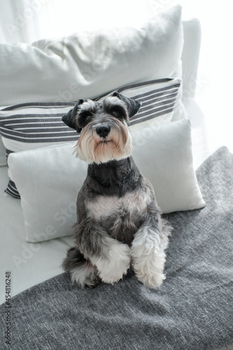 Obraz na plátne Cute purebred dog standing on hind legs