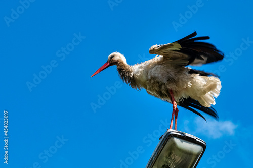 Canvas Print Adult white stork (Ciconia ciconia) on the street lamp - Choczewo, Pomerania, Po