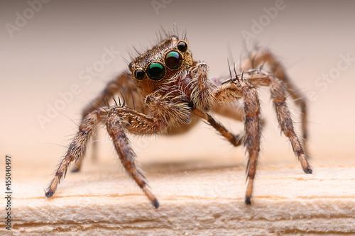 Billede på lærred jumping spider on the floor.