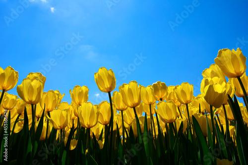 żółte tulipany na tle nieba