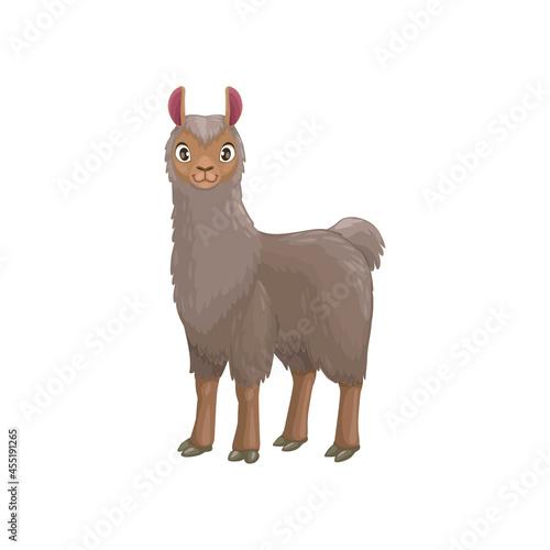 Fototapeta premium Llama animal portrait with furry grey body isolated cartoon animal. Vector mountain lama, farming livestock mammal, domesticated South American camelid, meat and pack alpaca, Vicugna pacos