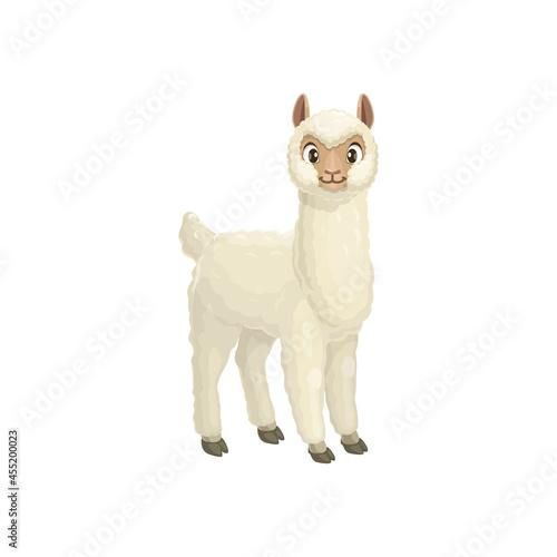 Fototapeta premium Alpaca, Vicugna pacos Linnaeus llama animal portrait with furry white body isolated cartoon baaby animal. Vector alpaca mountain lama, farming livestock mammal, domesticated South American camelid