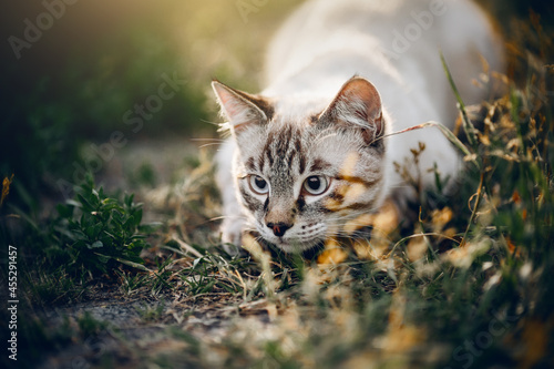 Obraz na plátne Portrait of a Thai cat in nature. A Thai cat walks in the grass.