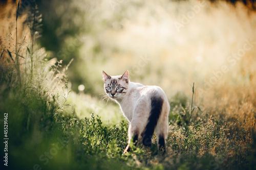 Canvas Print A Thai cat walks in the grass.