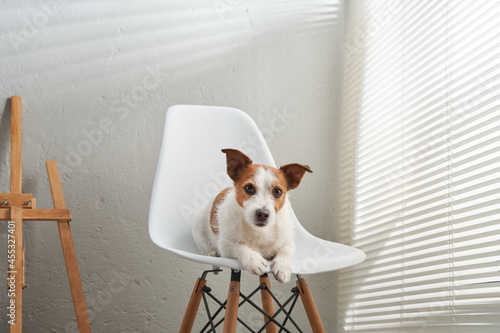 Obraz na plátně the dog sits on a chair against the background of a textured wall