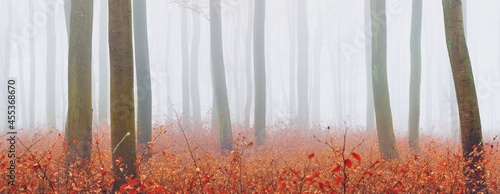 Fotografia Mysterious majestic golden beech forest in a thick fog