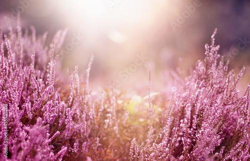 Kwiaty, jesienne wrzosy
