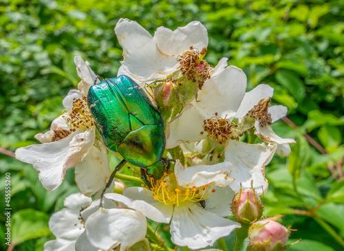 Valokuvatapetti Green rose chafer