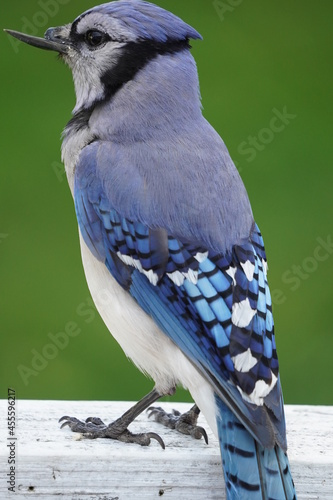 Photo blue jay broken beak