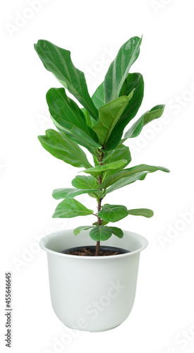 Photo Fiddle fig tree with beautiful big green leaf for decoration in white potted iso
