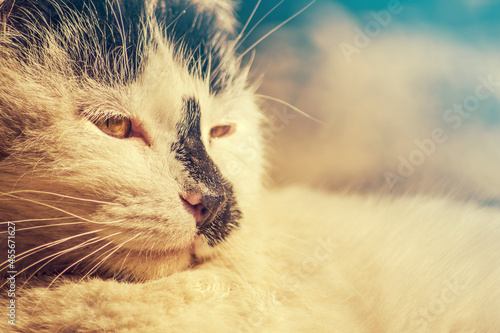 Fotografie, Obraz Close-up portrait of an cat in golden hour