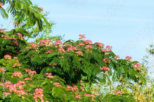 Foto Albizia, Arbre à soie, Acacia de Constantinople , Mimosa de Constantinople, Albi