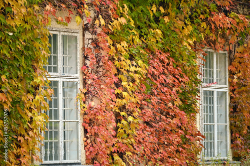 Fotografie, Obraz wall with wooden windows and creeper in Vienna autumn season