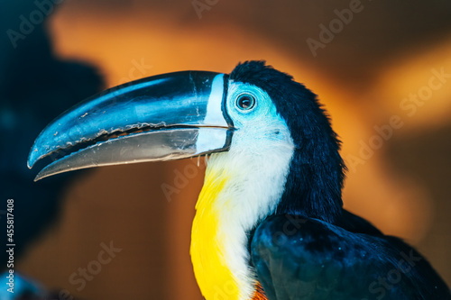 Fototapeta premium Toucan bird with big black nose or beak, close up.