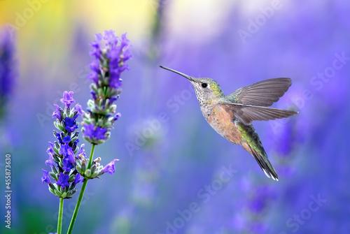 Fototapeta premium Tiny Hummingbirds hovering close to a lavender flower