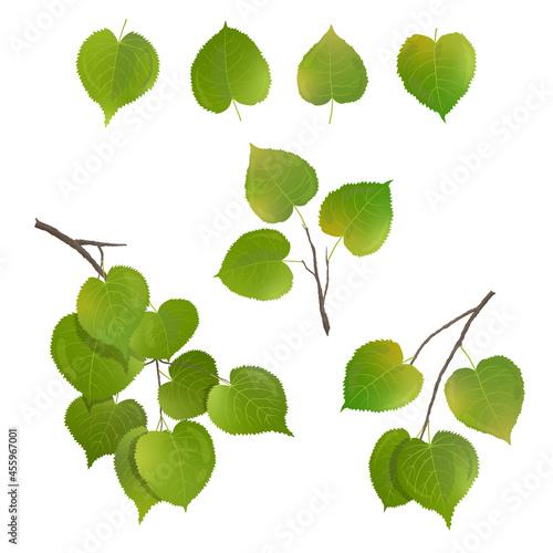 Fototapeta Vector leaves of birch, poplar on a white background