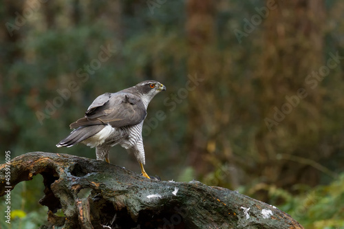 Fototapeta premium A hawk on a piece of a tree trunk