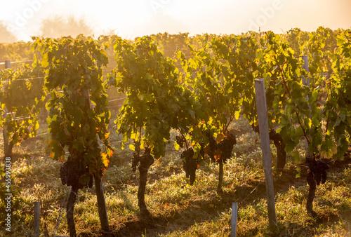Morning light in the vineyards of Saint Georges de Montagne near Saint Emilion, Fototapet