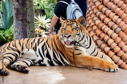 Canvastavla A huge tiger with a chain around its neck lies on a stone