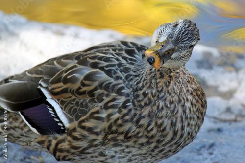 Slika na platnu Duck - Mallard - curious