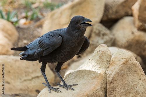 Fototapeta premium Fan-tailed Raven - Corvus rhipidurus, large black passerine bird from Horn of Africa woodlands and forests, Ethiopia.