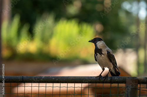 Fototapeta premium crow (Corvus cornix), also called a hood on a green natural background with copy space