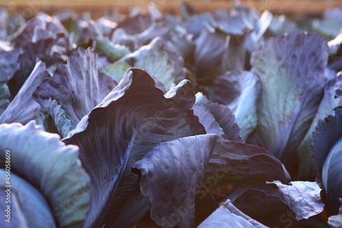 Canvas Cabbage leaves