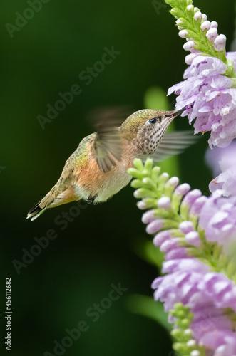 Fototapeta premium Hummingbirds