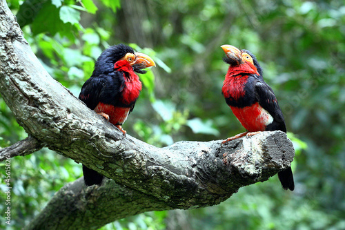 Fotografiet Couple de Barbicans à poitrine rouge (Lybius dubius)