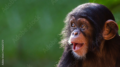 Fotografia Close up portrait of a happy baby chimpanzee with a silly grin with room for tex