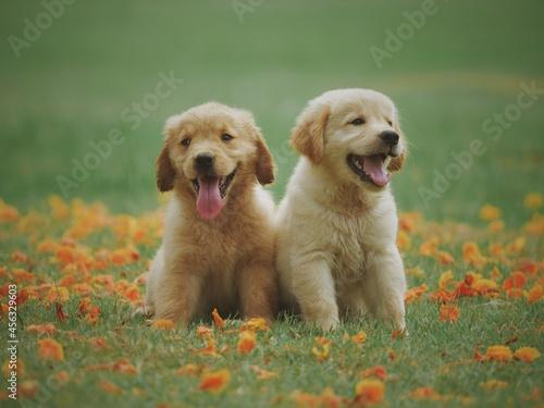 Fototapeta golden retriever puppy