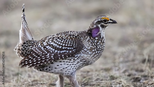 Valokuva Sharp-tailed grouse (Tympanuchus phasianellus), also known as the sharptail or fire grouse