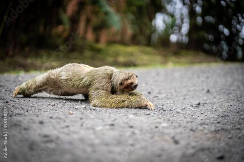 Fototapeta premium Profile of a sloth crossing a tropical path