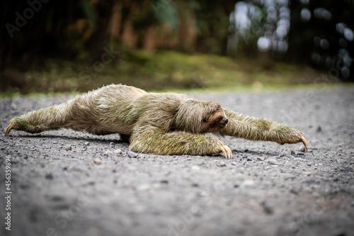 Fototapeta premium Sloth crossing a tropical path during daytime
