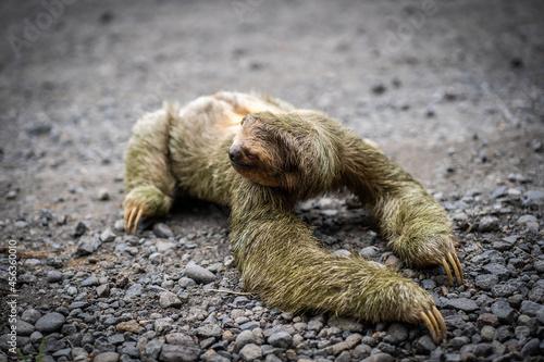Fototapeta premium Close-up view of a sloth crossing a tropical road