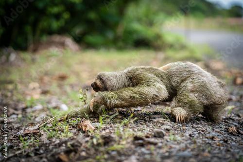 Fototapeta premium Sloth arriving at the edge of a tropical highway