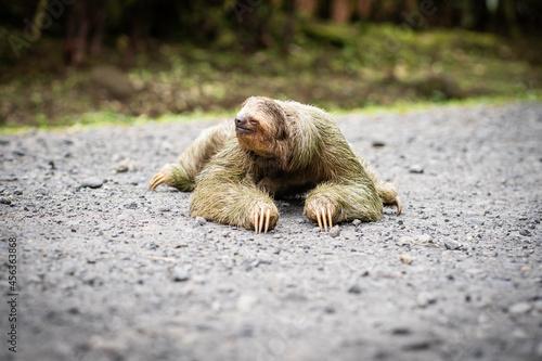 Fototapeta premium Selective focus on a sloth crossing a tropical road