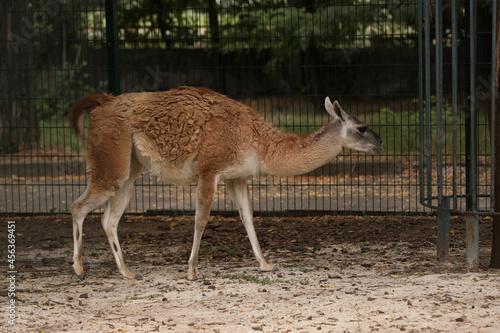 Fototapeta premium Cute guanaco in zoo enclosure. Wild animal