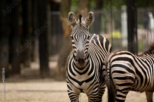 Fototapeta premium Beautiful zebras in zoo enclosure. Exotic animals
