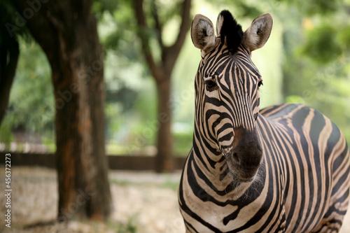 Fototapeta premium Beautiful zebra in zoo enclosure, space for text