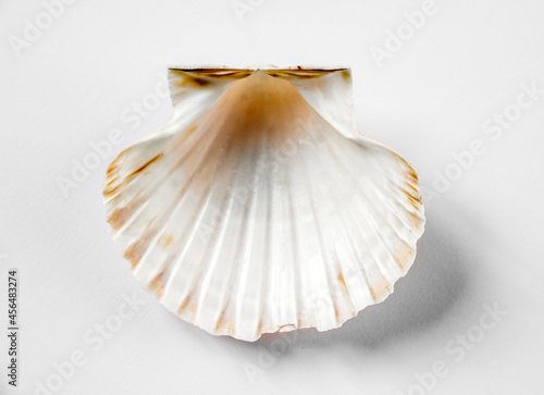 Fotografering Scallop shell on white background