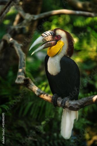 Fototapeta premium Sumba hornbill on the brunch of tree