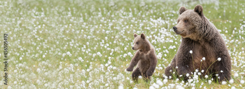Canvastavla Brown bear mother and her small cub in the middle of the cotton grass in a Finnish bog