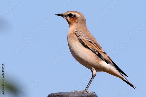 Fotografiet oiseau traquet motteux femelle sur un piquet