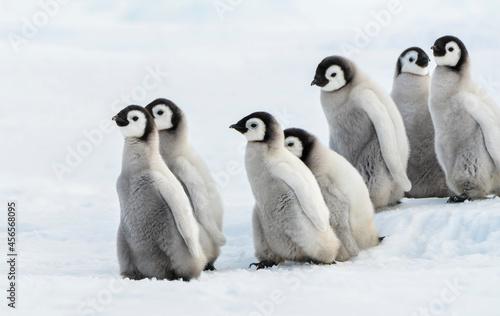 Obraz na plátně Six Emperor Chick, Seis pingüinos emperador Chiks en la nieve.
